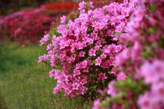 azalee rosa iu 564
