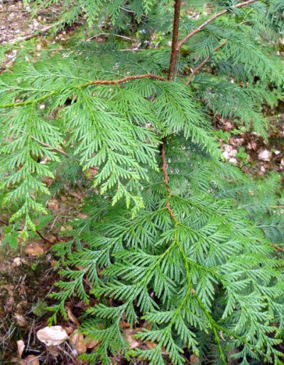 blattwerk junger riesen Lebensbaum