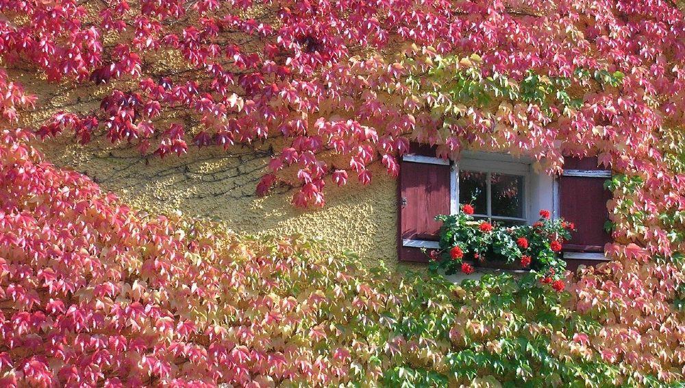 fassade rotes weinblatt fensterlaeden 1000