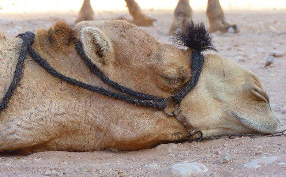 faul kamel petra 564