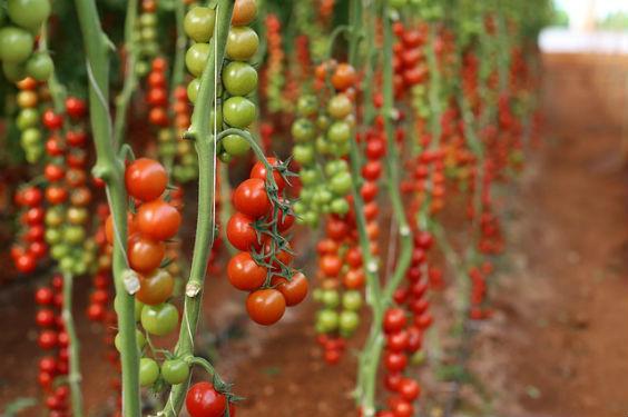 gewaechshaus tomaten b3 564