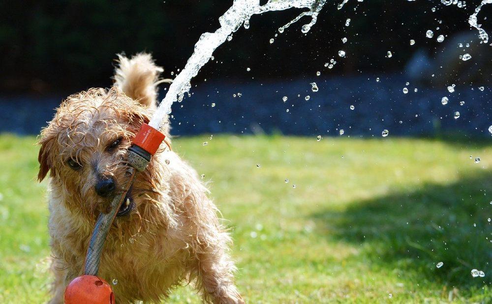 hund schlauch rasen wasser