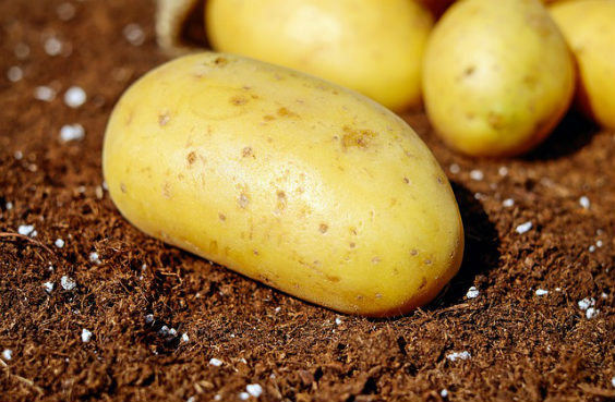 kartoffeln braune erde py 564