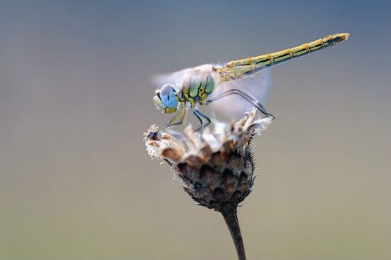 libelle blume hx 564