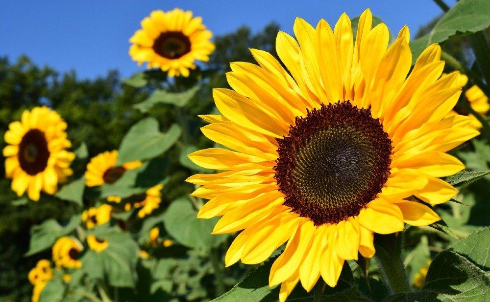 sonnenblumen drei 564