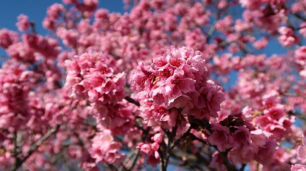winterkirsche prunus rosa 1000