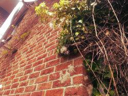 Kletterpflanzen verschönern Hauswände