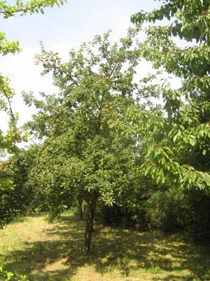 Obstbäume besitzen unterschiedlichste Ausgestaltungen
